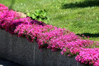 Beautiful pink flowers on the edge of the of a lawn with a concrete wall