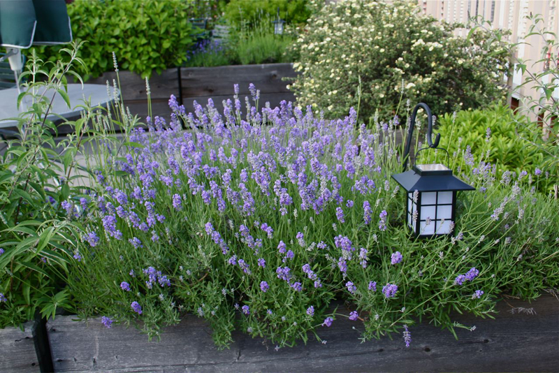 10 Simple Tricks for Growing Lavendar