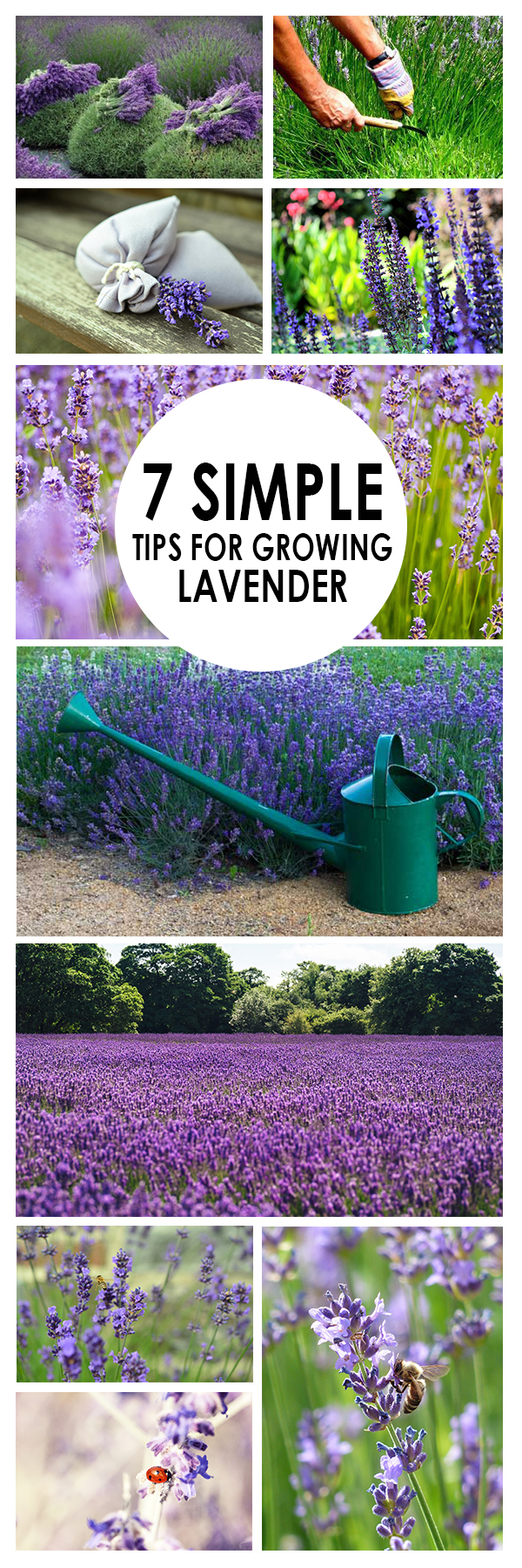 7 Simple Tips For Growing Lavender Bees And Roses