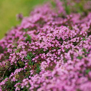 Beautiful pink thyme flowers