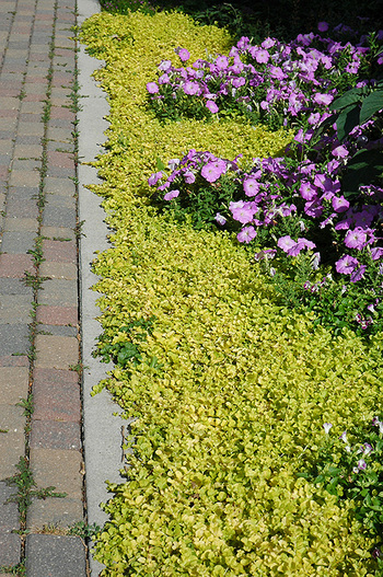Ground covers: Yellow Creeping Jenny