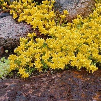 Ground Covers: yellow Sedum growing in between rocks