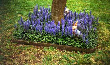 Ground cover around a tree. Ajuga with purple flowers