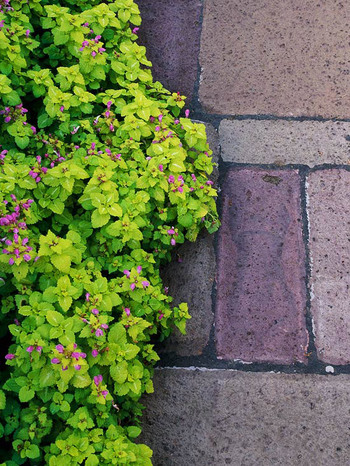 Ground Cover-Lime green lamium leaves with bright pink flowers