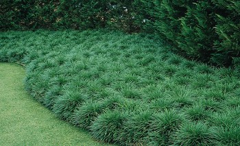 Mondo Grass. A bushy ground cover