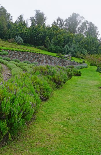 Learn how to grow lavender anywhere with these lavender growing tips and tricks. Growing lavender requires thoughtful planning, watering, maintenance and then harvesting. You'll be growing lavender in no time.