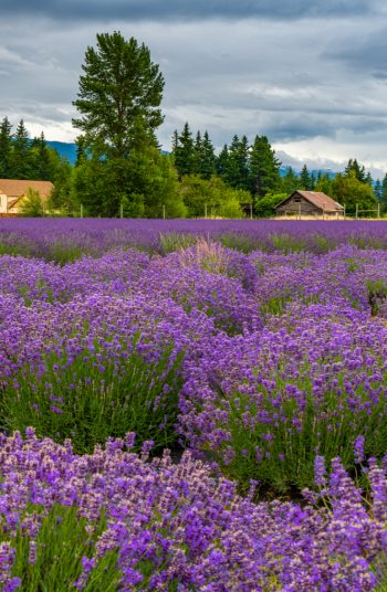 Learn how to grow lavender anywhere with these lavender growing tips and tricks. Growing lavender requires thoughtful planning, watering, maintenance and then harvesting. Don't forget about mulching!