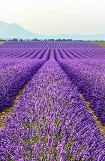 Learn how to grow lavender anywhere with these lavender growing tips and tricks. Growing lavender requires thoughtful planning, watering, maintenance and then harvesting. You'll love having beautiful lavender accessible for whenever you want it.