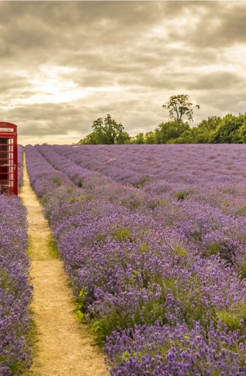Learn how to grow lavender anywhere with these lavender growing tips and tricks. Growing lavender requires thoughtful planning, watering, maintenance and then harvesting. Trust me, you want to know these.
