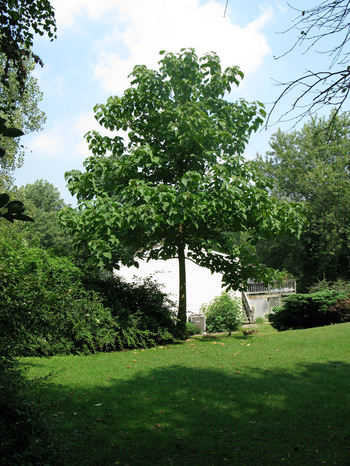 10 Of The Fastest Growing Shade Trees Page 2 Of 11
