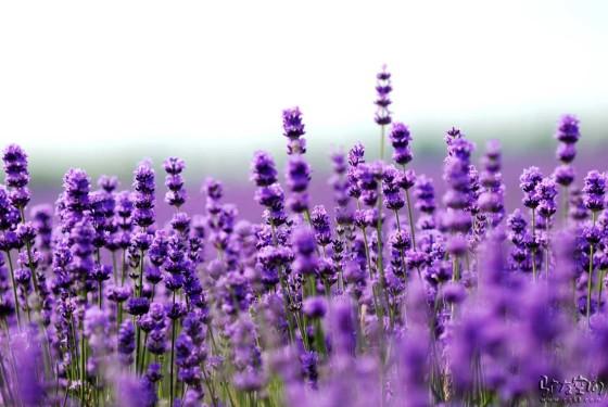 Growing Lavender, Growing Lavender Indoors, Gardening, Gardening Ideas, Gardening Tips, Indoor Garden, Indoor Gardening