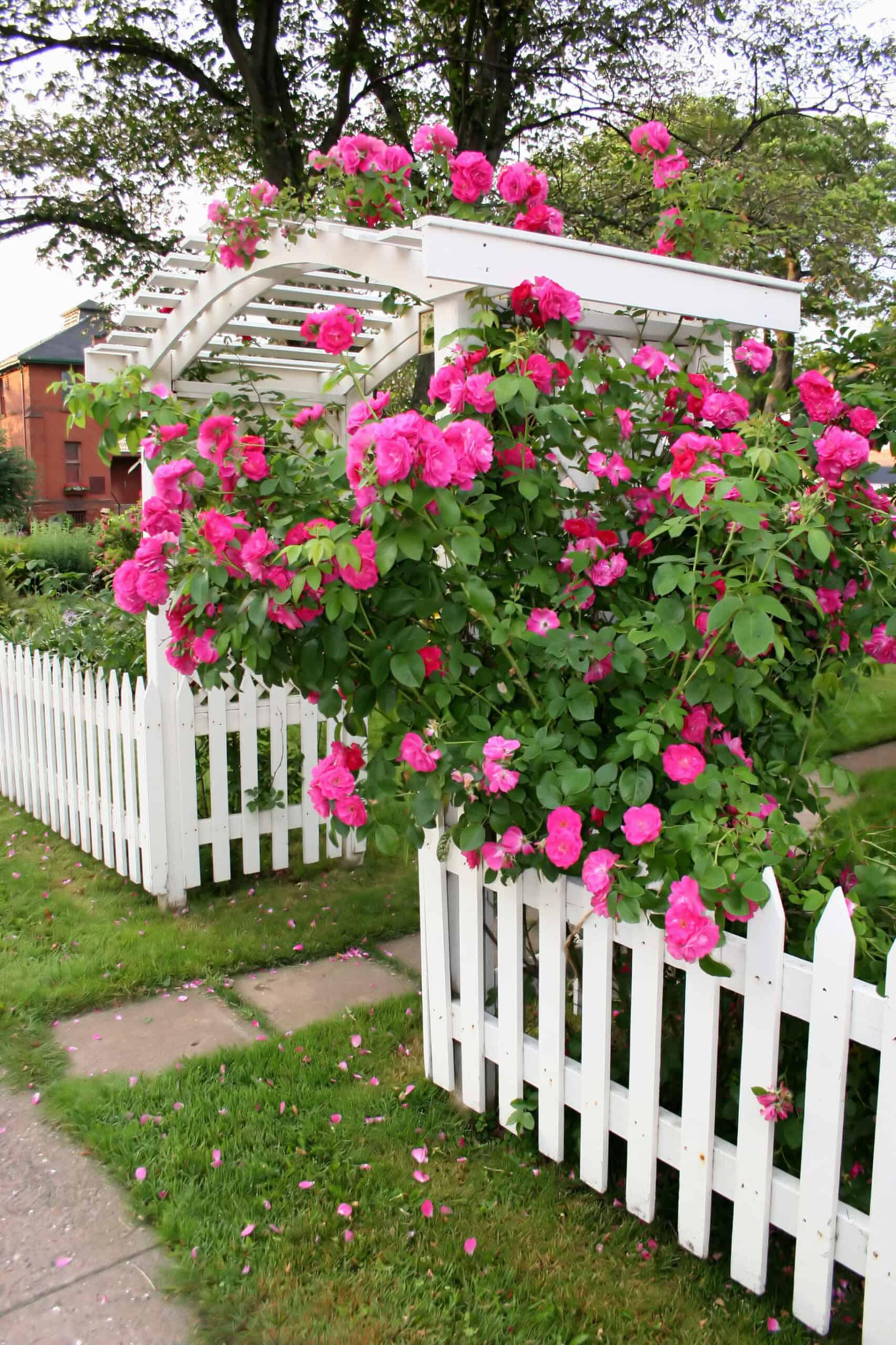 Climbing plants for arbors and trellises