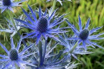 Eryngium x zabellii 'Big Blue' - 030371