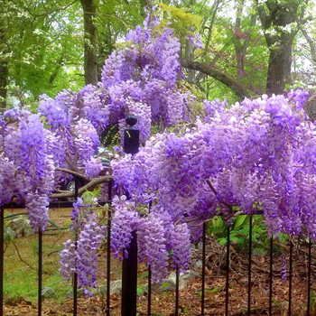 Wisteria: climbing plants for arbors and trellises
