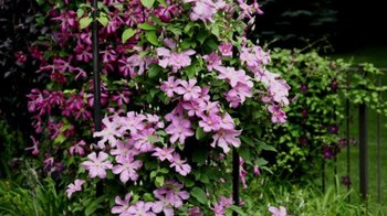 Clematis: Climbing plants for arbors and trellises