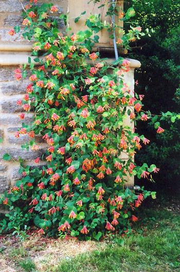 Honeysuckle: climbing plants for arbors and trellises