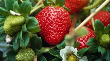 Red strawberries on vine. Tips To Grow strawberries.