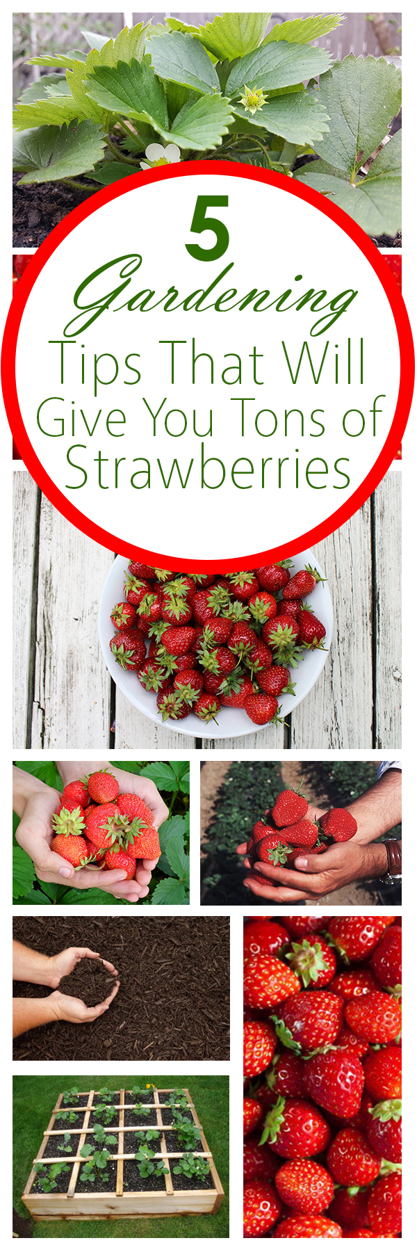 Gardening, home garden, garden hacks, garden tips and tricks, growing plants, plants, vegetable gardening, planting fruit, flower garden, outdoor living, fruit gardening, how to grow strawberries, strawberry growing tips.
