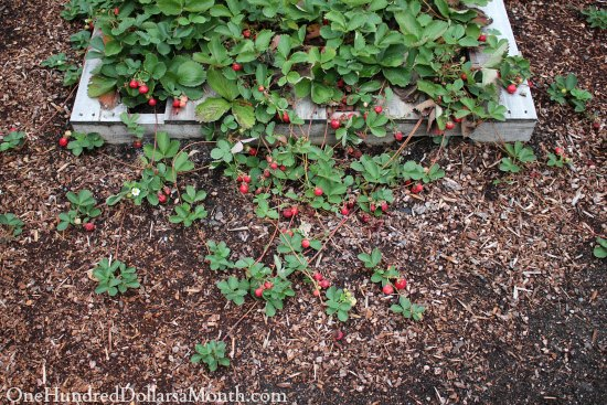 Grow Strawberries, Strawberry Plants, Gardening, home garden, garden hacks, garden tips and tricks, growing plants, plants, vegetable gardening, planting fruit, flower garden, outdoor living, fruit gardening, how to grow strawberries, strawberry growing tips.