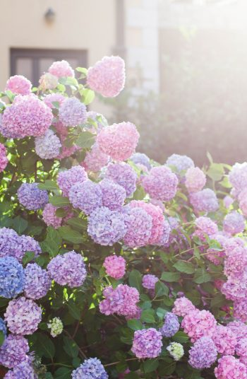 Here are some easy to grow shade plants that love areas of shade. Use these plants for the shade to decorate your garden! Hydrangeas are at the top of the list.