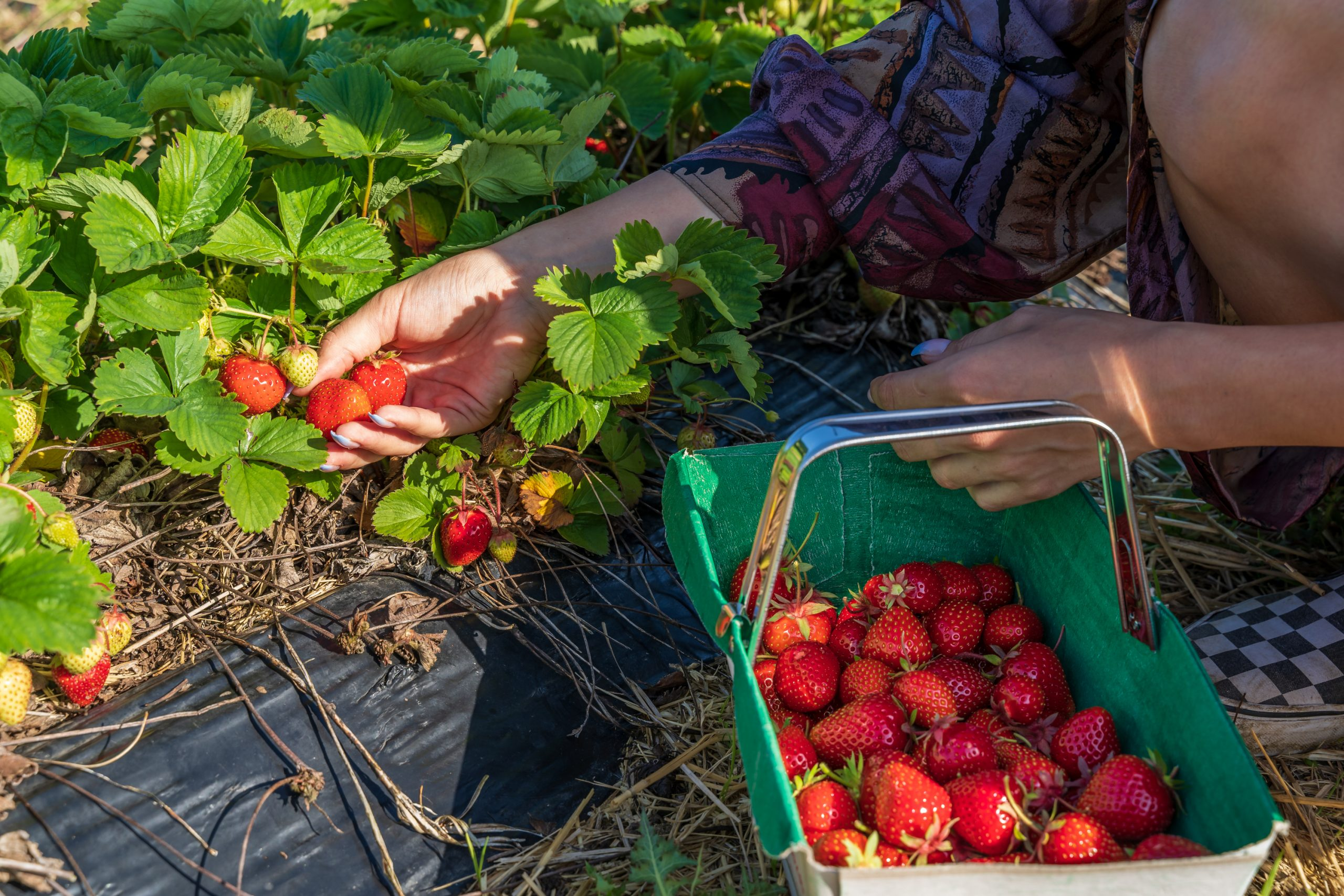 Pick ripe strawberries to encourage new growth