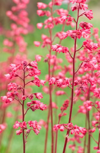 Here are some easy to grow shade plants that love areas of shade. Use these plants for the shade to decorate your garden! These coral bells will add a nice pop of color to your yard.