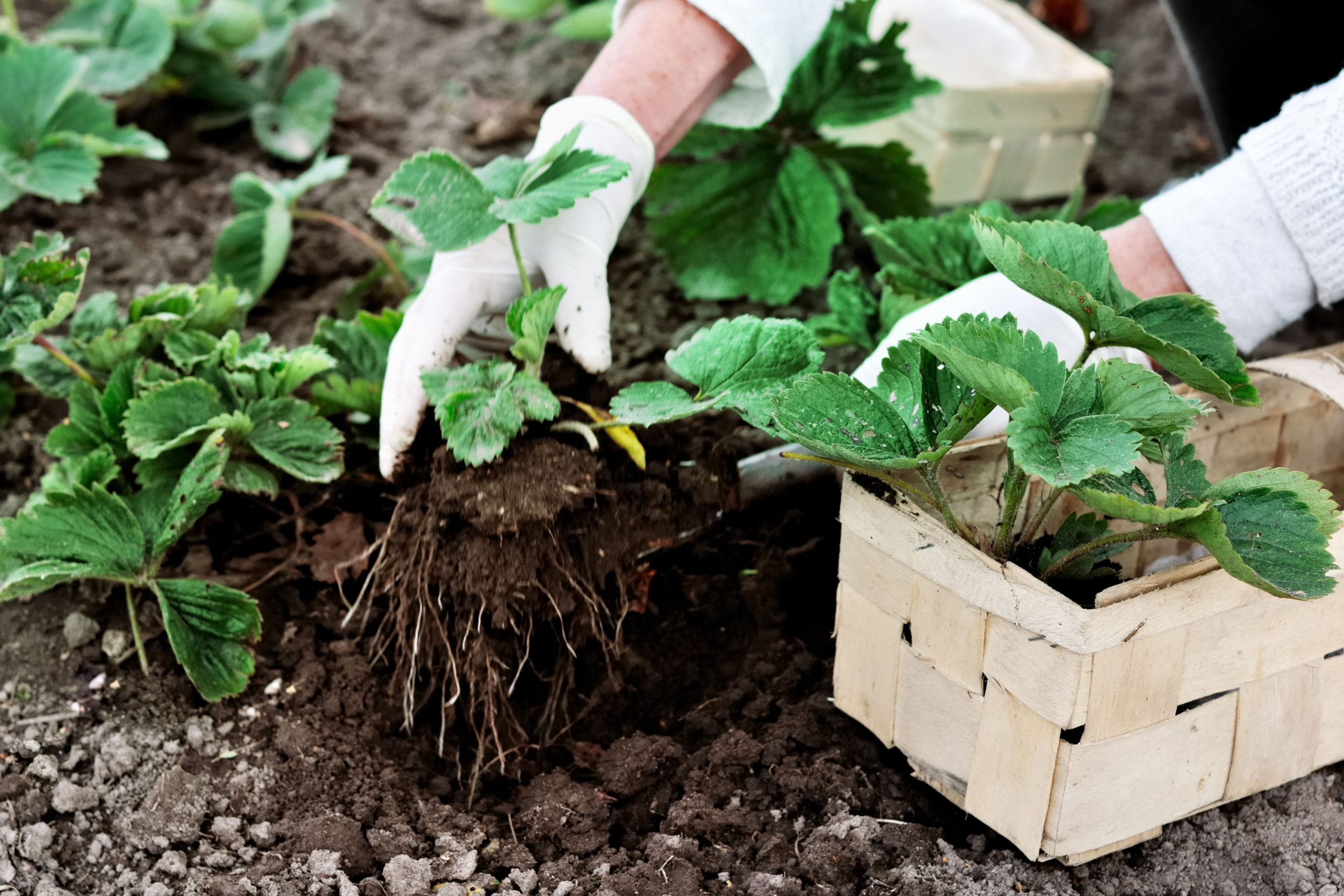 gardening tips to grow strawberries with fertilizer