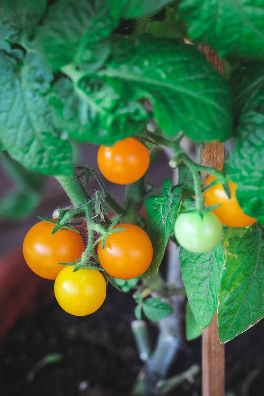 Vegetables to Grow in Pots
