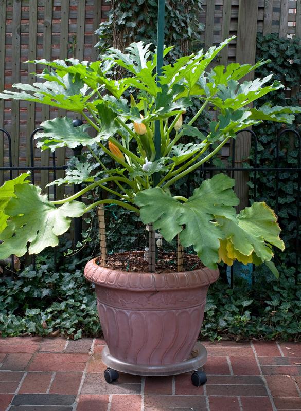 Zucchini Growing in Pot