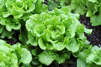 Fall gardening, fall vegetable gardening, Fall Garden Vegetables, Gardening, Gardening Ideas, Garden Ideas, Vegetable Gardening for Beginners