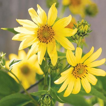 Sunflowers. Yellow is the perfect color for fall flowers
