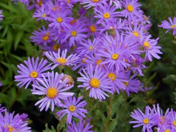 Asters. Perfect purple flowers for fall