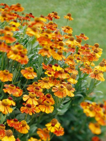 Hellenium flowers. perfect flowers for fall