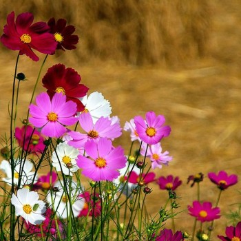 Cosmos Flowers. Flowers that help save bees.