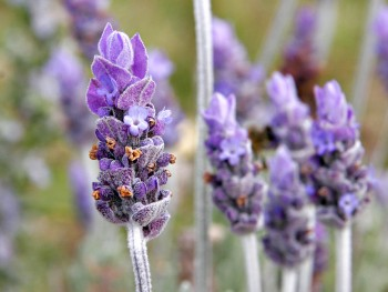Lavender. Flowers that help save the bees.