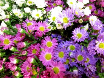 Asters. Flowers that help save the bees.