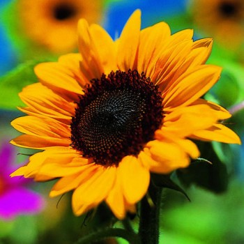 Sunflowers. Flowers that help save the bees.