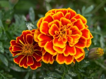 Marigolds. Flowers that save bees.