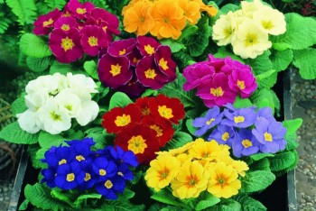 Primulas. Flowers that save bees.