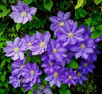 Clematis. Flowers that save bees.