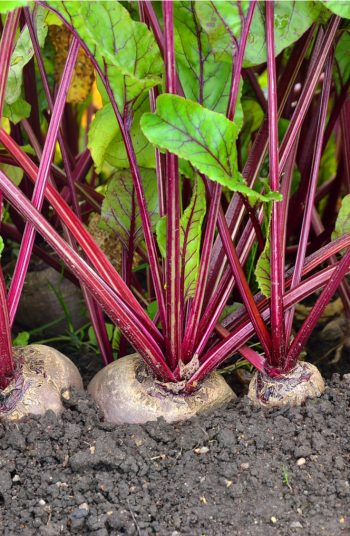 While most gardening needs sun, there are a few vegetables that do very well in the shade. So, if you have a spot that gets less sun, plants these shade vegetables and watch them grow. Beets should be at the top of your list!