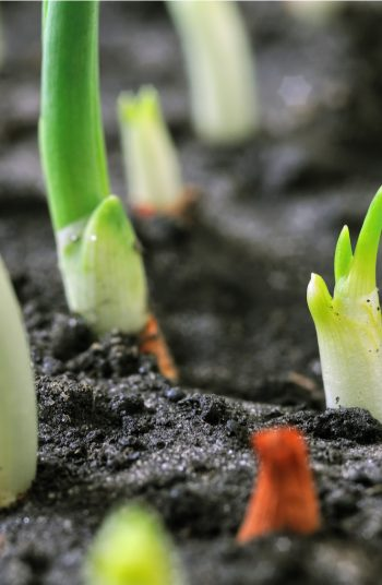 These fast growing plants are the perfect addition to your garden! In just a few weeks, you can start growing (and harvesting) these fast growing vegetables for vegetable gardening.