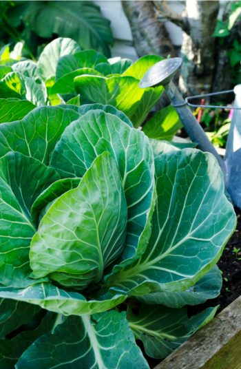 While most gardening needs sun, there are a few vegetables that do very well in the shade. So, if you have a spot that gets less sun, plants these shade vegetables and watch them grow. Cabbage should be at the top of your list.