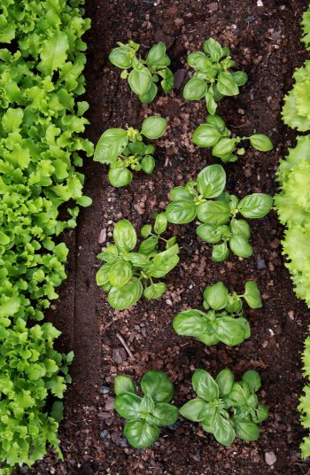 These fast growing plants are the perfect addition to your garden! In just a few weeks, you can start growing (and harvesting) these fast growing vegetables for vegetable gardening. Check them out!