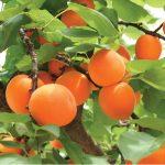 moorpark_apricot
