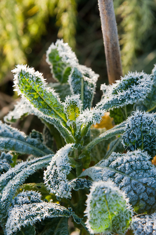 Autumn hoar frost on kale, October.