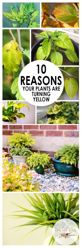 Yellowing Plants, Plants Yellowing, Plants Yellowing Leaves, Plant Care, Plant Care Tips, Houseplant Care, Indoor Garden, Indoor Gardening