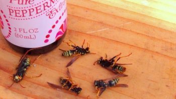 Wasp Repellant, Hornet Repellant, Get Rid of Wasps and Hornets, Pest Control, Pest Control Ideas, Garden, Gardening, Garden Ideas