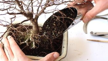 How to Grow a Bonsai Tree3