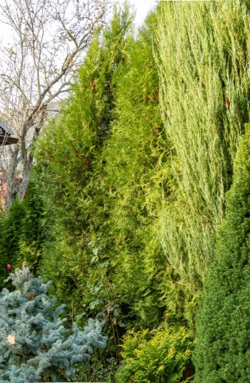 These stunning plants work hard to create outdoor privacy. These outdoor privacy plants are easy to manage, and a great addition to your yard. Try these plants for outdoor privacy! See how they can transform your yard.